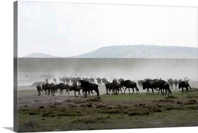 Herd of Wildebeest, Ngorongoro Crater Conservation Area, Tanzania