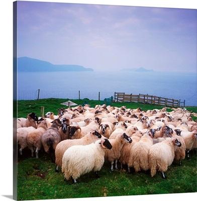 Herding Sheep, Inishtooskert, Blasket Islands, Co Kerry, Ireland