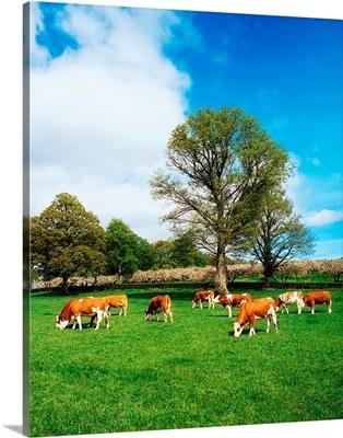 Hereford Bullocks