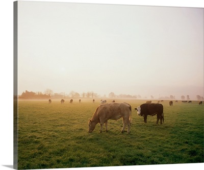 Hereford Cattle, Ireland