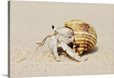 Hermit Crab (Anomura) On Sand Of Beach, La Digue, Seychelles