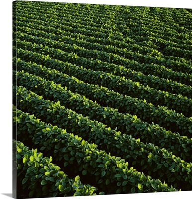 High angle view of rows of mid growth soybean plants, Central Iowa