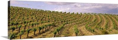 Hillside wine grape vineyard showing Spring foliage growth, Napa Valley, California