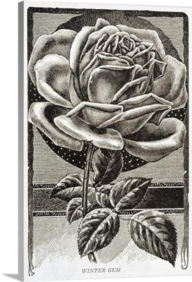 Historic illustration of Winter Gem Rose from 20th century