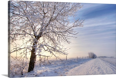 Hoar Frost Covered Tree Along A Snow Covered Road At Sunset, Rural Alberta, Canada