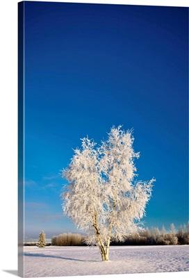 Hoarfrost covered birch tree, winter, interior Alaska,