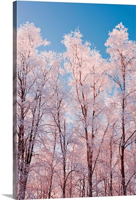Hoarfrost covered birch trees in Russian Jack Park, Anchorage, Alaska