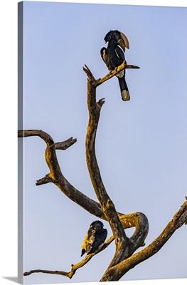 Hornbills Perched On A Dead Tree, Oromia Region, Ethiopia