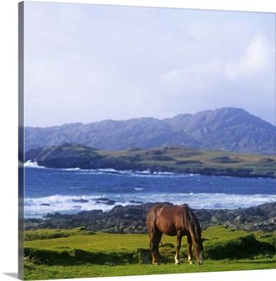 Horse Grazing In A Field, Beara Peninsula, Allihies, County Cork, Republic Of Ireland