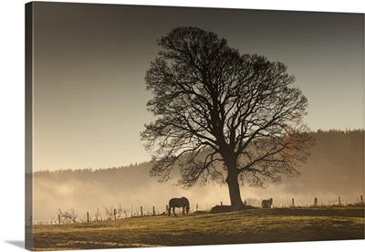 Horses Grazing In A Field Covered With Fog, Northumberland, England