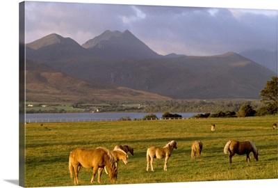 Horses Grazing, Macgillycuddy's Reeks, Killarney National Park, County Kerry, Ireland