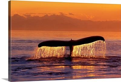 Humpback Whale Fluke @ Sunset Inside Passage SE AK Summer
