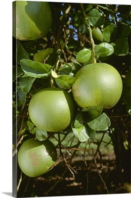 Immature, unripe pummelos on the tree, a tropical fruit