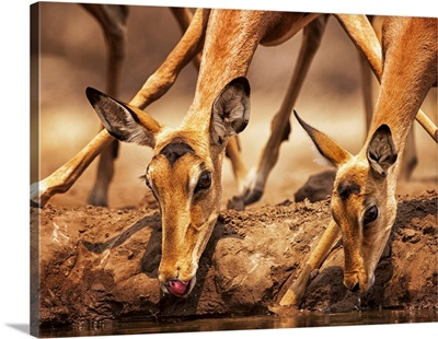 Impalas (Aepyceros Melampus) Drinking Water At Mashatu Game Reserve, Botswana