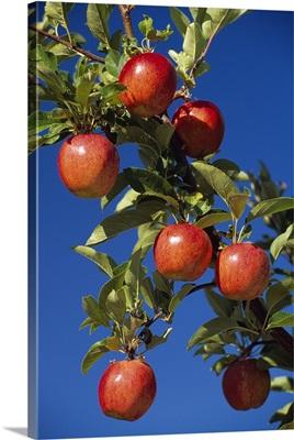 Imperial apples on the tree with blue sky, Yakima, Washington