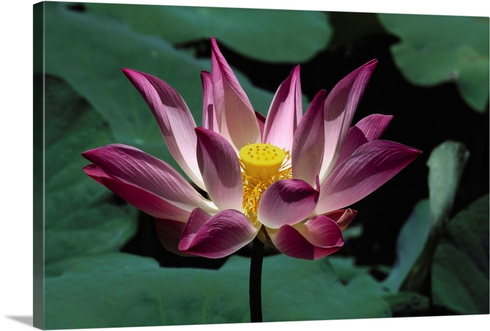 Indonesia Bali Pink And White Lotus Flower Surrounded By Green