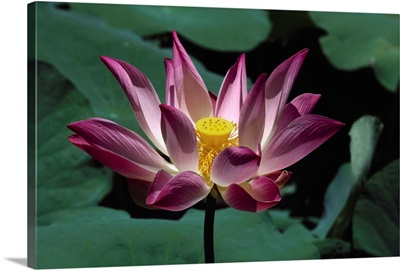 Indonesia, Bali, Pink And White Lotus Flower Surrounded By Green Leaves