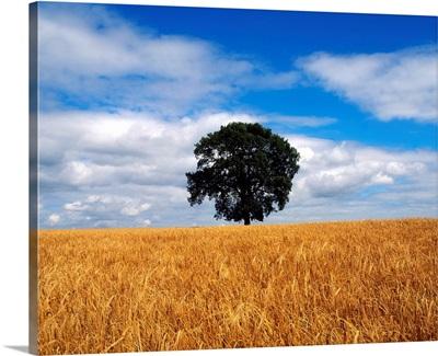 Ireland, Barley Field With Oak Tree