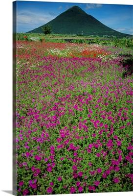 Japan, Kyushu, Field Of Purple Flowers Near Mount Kaimon