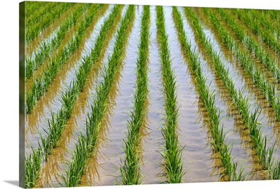Japan, Kyushu, View Of Young Rice Shoots Growing In Rows