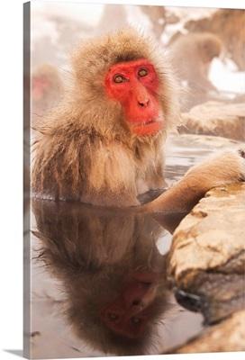 Japan, Nagano-ken, Yudanaka, Japanese Macaque soaking in hotspring pool