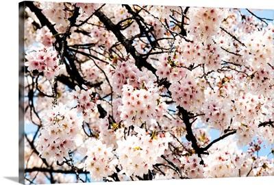 Japan, Tokyo, Shinjuku Gyoen Park, Cherry Blossom Season