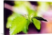 Japonica Tree, Selective Focus On Green Leaves