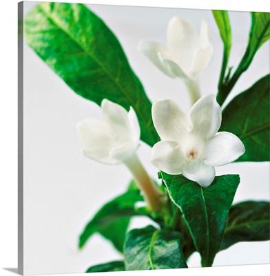 Jasmine Plant In Bloom