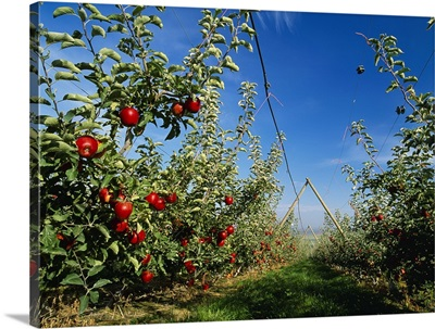 Jonagold apple orchard on a V trellis system with ripe fruit on the trees