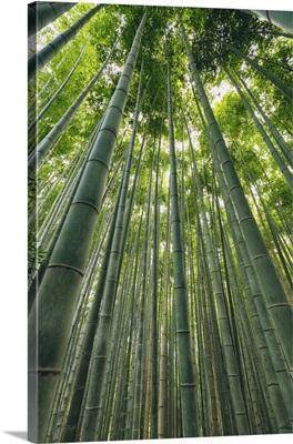 Kameyama Bamboo Forest, Kyoto, Kansai, Japan