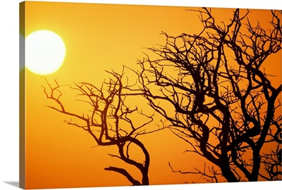 Keawe Tree Silhouette, Bare Branches Against Sunset