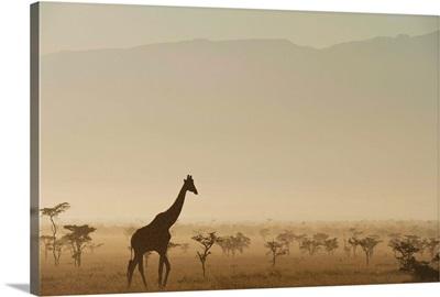 Kenya, Giraffe at dawn in front of Mt Kenya in Ol Pejeta Conservancy, Laikipia County