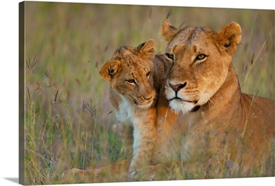 Kenya, Lioness with cub at dusk in Ol Pejeta Conservancy, Laikipia Country