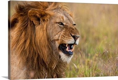 Kenya, Male lion snarling in Ol Pejeta Conservancy, Laikipia Country