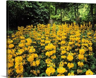 Kilmokea, Co Wexford, Ireland; Wild Garden With Candelabra Primula