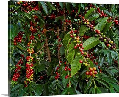 Kona coffee beans on the tree, Hawaii