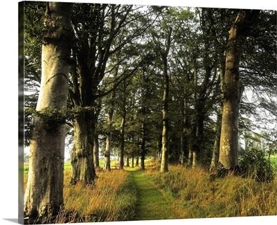 Larchill Arcadian Garden, County Kildare, Ireland; Pathway In Beech Tree Grove