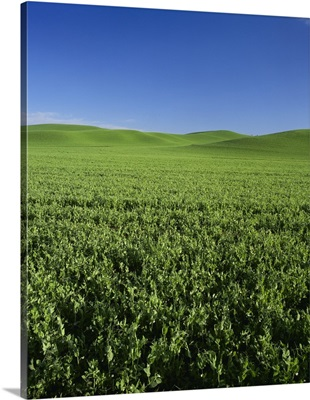 Large field of flowering commercial peas in the Palouse region