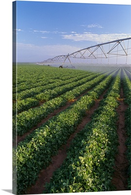 Large field of healthy peanuts being irrigated by a center pivot irrigation system