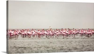 Large Flock Of Flamingos, Walvis Bay, Sossusvlei, Hardap Region, Namibia