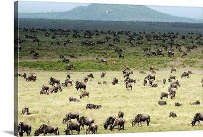 Large herd of Wildebeest grazing, Ngorongoro Crater Conservation Area, Tanzania
