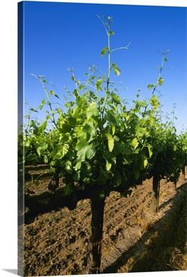Late spring foliage growth on wine grape vines, Oakdale, California