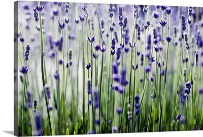 Lavender (Lavandula Angustifolia) Sprigs Growing In Field