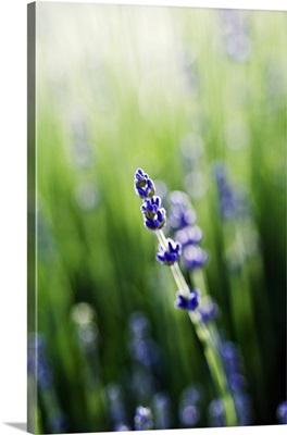 Lavender (Lavandula Angustifolia) Stem And Blossoms In Field