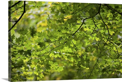 Leafy Branches, Muskoka, Ontario, Canada