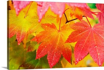 Leaves From A Vine Maple In Mount Rainier National Park, Washington