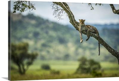 Leopard, Klein's Camp, Serengeti National Park, Tanzania