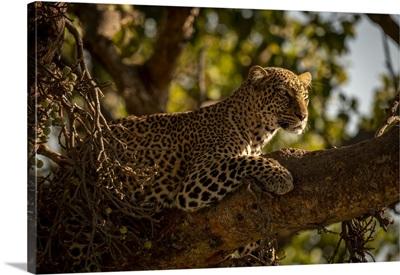 Leopard Looking For Prey, Maasai Mara National Reserve, Kenya