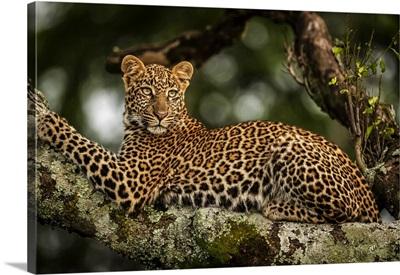 Leopard Lying On Lichen-Covered Branch Looking Back, Maasai Mara National Reserve, Kenya