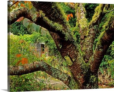 Lichen Covered Apple Tree, Walled Garden, Ilnacullin, Co Cork, Ireland